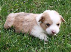 corgi puppy, Her nose is still pink. Z