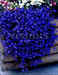 The Dirty Gardener Lobelia Erinus Half Moon Flowers - 200 Seeds Sun Plants, Patio Plants, Garden Plants, Flowering Plants, Potted Plants, Lobelia Flowers, Blue Flowers, Planting Flowers, Backyard Studio