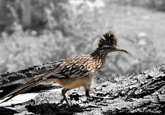 "Arizona's beloved ""unofficial"" state bird. The Road Runner"