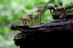 stephenearp: Parade champignons