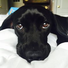 19 Things All Labrador Owners Must Never Forget Black Lab Puppies, Cute Puppies, Cute Dogs, Dogs And Puppies, Doggies, Black Puppy, Corgi Puppies, Animals And Pets, Baby Animals