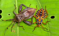 Leaf footed bugs, (Thasus acutangulus?), Coreidae, adult and nymph, by Ecuador Megadiverso on Flickr (cc)