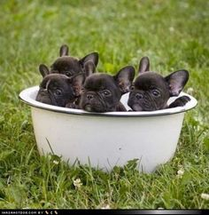 Enamel Bowl of Black Baby French Bulldogs