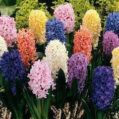 Hyacinth Fantasy Mix - 15 flower bulbs buy online order now