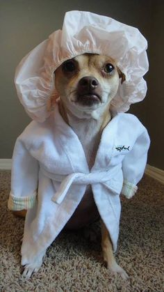 """Who started the washing machine while I was in the shower!"" Chihuahua in a bath robe. Cute Baby Animals, Animals And Pets, Funny Animals, Animal Babies, Funny Animal Pictures, Dog Pictures, Hilarious Pictures, Funny Photos, I Love Dogs"