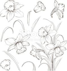 Flower Drawing Set of line drawing narcissus, vector illustration royalty-free set of line drawing narcissus vector illustration stock vector art Flower Line Drawings, Flower Sketches, Drawing Sketches, Art Drawings, Drawing Flowers, Drawing Pin, Art Floral, Floral Drawing, Nature Drawing