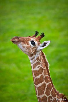 Young giraffe by Patrick Bakkum