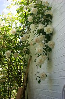 MME ALFRED CARRIERE ROSE- hardy, will grow on north wall