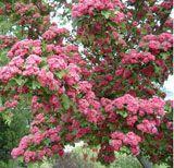Pruning Hawthorn | General pruning tips | Pruning | Pruning, planting and maintenance  Rosehagtorn