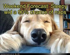 sleepy golden forecast with 90% chance of naps