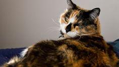 Come determinare il sesso di un gatto adulto