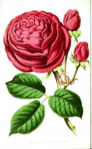 Botanical - Floral World and Garden Guide - Tea Rose  --  LOADS of FREE Printables on this site!