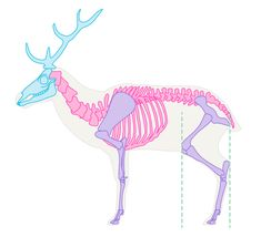 How to Draw Animals: Deer – Species and Anatomy