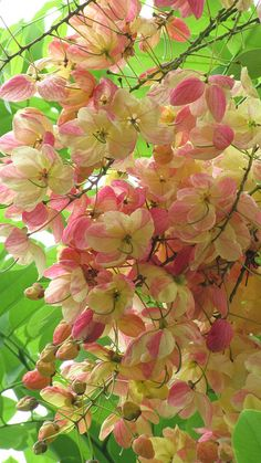 "Cassia fistula ""Golden Shower Tree"""