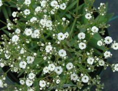gypsophila   Łyszczec wiechowaty - Gypsophila paniculata » Jednoroczne i ...