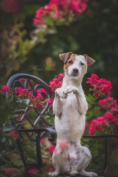 Jack Russell Terrier Isis Maria S. #dog #jackrussell #photography
