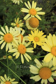 <3 Anthemis tinctoria \'E. C. Buxton\', staudefeen.dk, Måned: Juni-august, Højde: 60 cm, Placering: Sol - tørketolerant