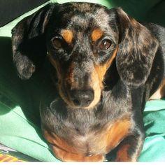 Meet this week's #dogbore @thepetshed & Bourbon  . If your dog had a job what would it be? She has! - customer relations manager . . Read it all on my blog.. link in bio #declandog  #woofwoofwednesday #humpday  #dogblog #dachshund #buzzfeedanimals #dachshundlove  #ilovemydog #houndsbazaar #petshed  #dogstagram #dachshundforever #welovebrighton #pawpack #bestwoof #instadog  #thestatelyhound #fluffypack #hund #barkbox #dogcollars  #brightondogs