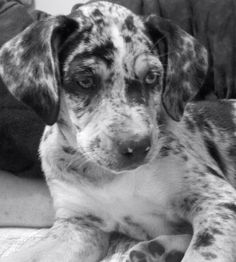 My new puppy she's a leopard catahoula
