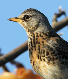 Dave The Fieldfare   Flickr - Photo Sharing!