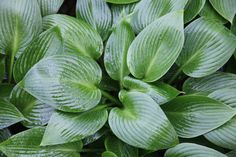 Buy plantain lily Hosta 'Devon Green': Delivery by Crocus.co.uk