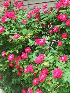 Knockout rose bush for front garden