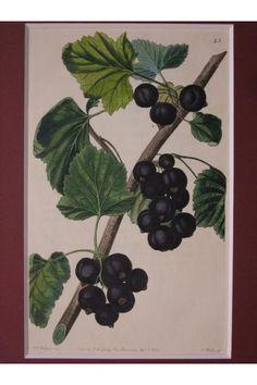 """黒すぐり THE BLACK NAPLES CURRANT, John Lindley """"THE POMOLOGICAL MAGAZINE"""" 1828, London"""