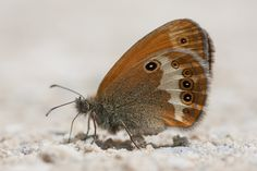 Ventral view of a Pearly Heath (Coenonympha arcania) photographed by gorpie in the French Pyrenees on 23rd July 2013