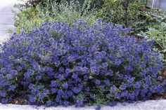 Caryopteris Sapphire Surf- Low maintenance shrub produces swell of stunning flowers from top to bottom, drought tolerant Zones 5-9, full sun, butterflies love it. :) :) Read up @ http://www.icangarden.com/document.cfm?task=viewdetail&itemid=9552