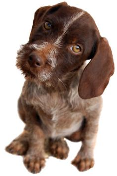 German Wirehaired Pointer ♥ Don't let the innocent look fool you:-) time for a new pup our 3 other wires are getting old. Ugly Dogs, German Wirehaired Pointer, Pointer Puppies, Puppy Breeds, Hunting Dogs, Dogs Of The World, Paw Patrol, Puppy Love, Best Dogs