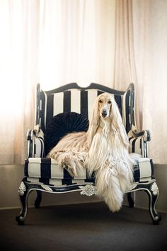 Afghan Hound ♥ Loved and pinned by Noah's Ark Mobile Vet Service | 250-212-5069 | Kelowna #pets #afghanhound