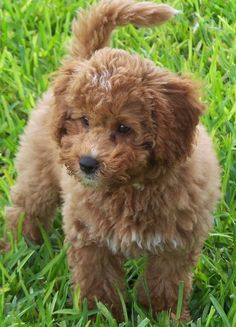 """Tigger the Miniature Labradoodle - if this is not the definition of """"cute"""" personified - I don't know what is! Mini Labradoodle Puppy, Goldendoodle, Miniature Labradoodle, Labradoodle Pictures, Animals And Pets, Baby Animals, Cute Animals, Small Animals, Puppies And Kitties"""