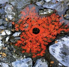 sugar maple leaves by andy goldsworthy via kishani perera blog