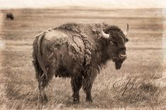 American Bison (Bison bison) grazes in the Badlands of South Dakota - Holly Kuchera photo taken: Native American Images, American Bison, South Dakota, Big Dogs, You Look, Cow, Buffalo, Artwork, Animals