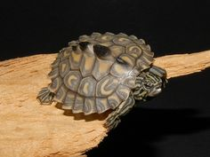 Yellow Blotched Map Turtle.