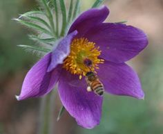 The pasque flower (or pasqueflower) was designated the official state flower of South Dakota in 1903. Also called the May Day flower, prairie crocus, wind flower, Easter flower and meadow anemone, the pasque is one of the first flowers to bloom in the spring (often before the late winter snows have thawed).  Pasque is a tallgrass prairie flower and grows wild throughout South Dakota.