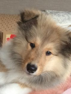 The Shetland Sheepdog originated in the and its ancestors were from Scotland, which worked as herding dogs. These early dogs were fairly Cute Puppies, Cute Dogs, Dogs And Puppies, Doggies, Rough Collie, Collie Dog, Animals And Pets, Baby Animals, Cute Animals