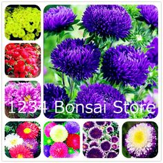 Strong-Willed 100pcs/bag Chrysanthemum Plants Multi-colors Flower Plants High Germination Home & Garden Bonsai Plants Home Garden Farm