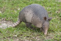 Nine-banded armadillo. The Southwest Florida Water Management District manages the water resources for west-central Florida as directed by state law. Through its efforts to protect water resources, the District buys and manages land. As a result, plants and animals that live on these lands are also protected and the public can enjoy recreational and educational activities in the great outdoors. Download our species lists before heading out.