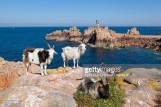Photo : France, Cotes d'Armor, Brehat island, goats on the rocks near the Paon lighthouse