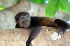 A lazy howler monkey Costa Rica, Tortuguero National Park, Leatherback Turtle, Giant Tortoise, Green Turtle, Viewing Wildlife, Wildlife Nature, Pet Dogs, National Parks