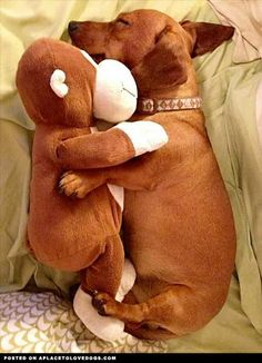 my little dachshund does this with stuffed animals or pillows Dachshund Funny, Dachshund Love, Daschund, Dachshund Facts, Dapple Dachshund, Funny Dogs, Baby Animals, Funny Animals, Cute Animals