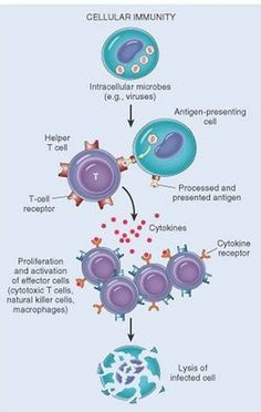 Cell mediated immune response