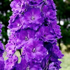 Delphinium Pagan Purples, Delphinium grandiflorum Pagan Purples - Spring Perennials from American Meadows