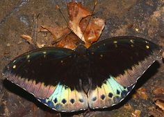 Male Archduke butterfly Lexius pardalis. Cambodian Wildlife by Richard Seaman