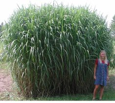 Miscanthus Giganteus-- I have 4 on reserve for the fence at side of yard. Will act as screen, habitat for beneficials and birds, winter interest and affordable!!
