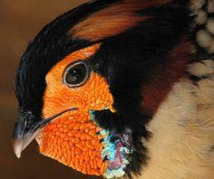 Cabot's Tragopan Pheasant