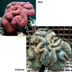 Brain Coral, Lobophyllia - Fiji Aquarium Ideas, Reef Aquarium, Saltwater Tank, Saltwater Aquarium, Brain Coral, Brine Shrimp, Water Movement, Ceramics Ideas, Photosynthesis