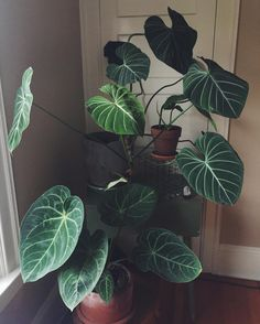 Philodendron gloriosum plant leaves, philadendron plant, plant care, plant decor, plants are Large Indoor Plants, Outdoor Plants, Indoor House Plants, Indoor Herbs, Plantas Indoor, Crassula, Decoration Plante, Home Decoration, Green Decoration