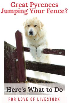 Great Pyrenees, whether used as livestock guardian dogs (LGDs) or as pets, love to jump fences and roam! This article gives several solutions to keep your Pyrs in your yard or pasture.  #greatpyrenees #greatpyr #livestockguardiandog #lgd #dogyard #dogroaming #dogtraining #positivetrainingmethods Dog Jumping Fence, Great Pyrenees Dog, Dog Yard, Farm Dogs, Tibetan Mastiff, Anatolian Shepherd, The Great Escape, Working Dogs, Livestock